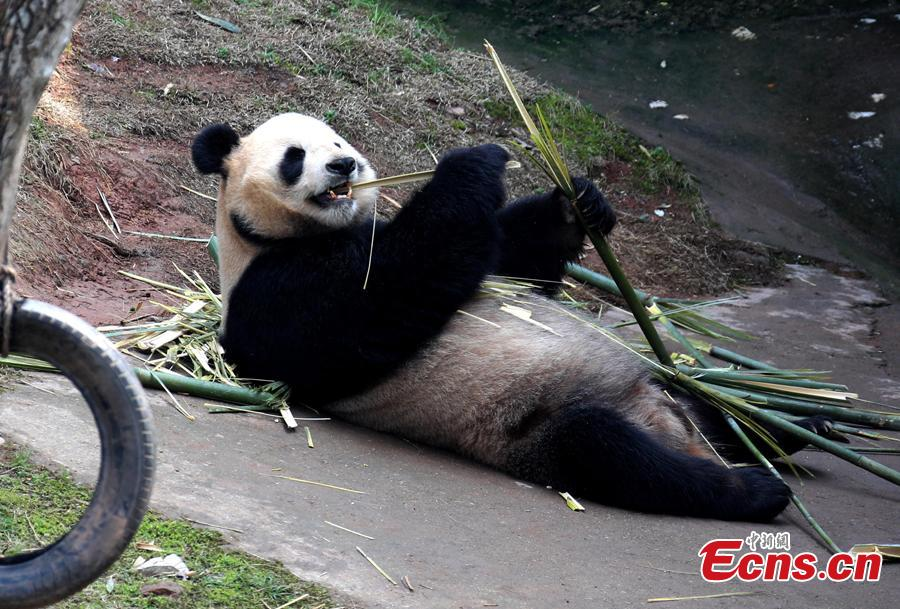 A giant panda plays on a sunny day at an ecological park in Xiuning County, East China's Anhui Province, March 10, 2019. (Photo: China News Service/Shi Guangde)