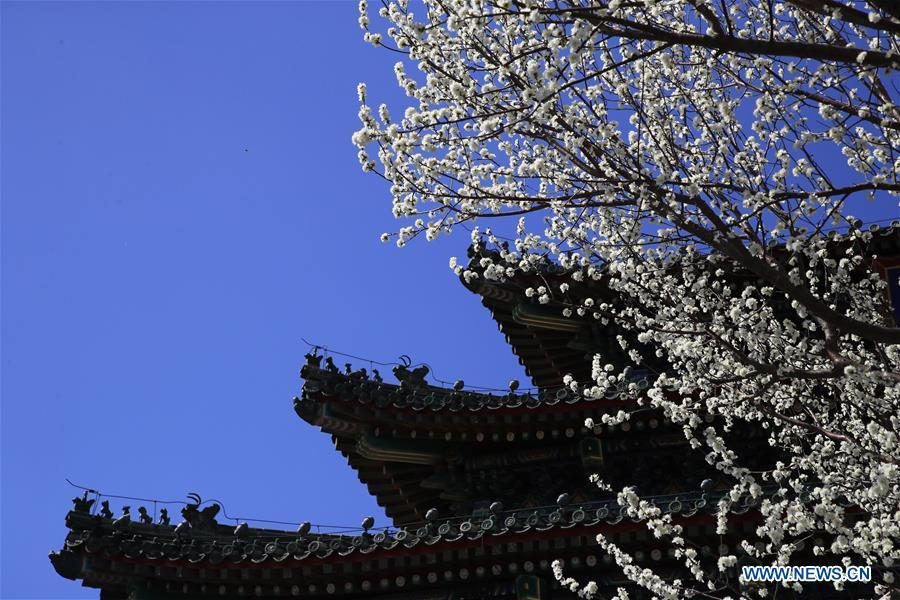 Photo taken on March 11, 2019 shows peach blossoms at the Jingshan Park in Beijing, capital of China. (Xinhua/Liu Xianguo)