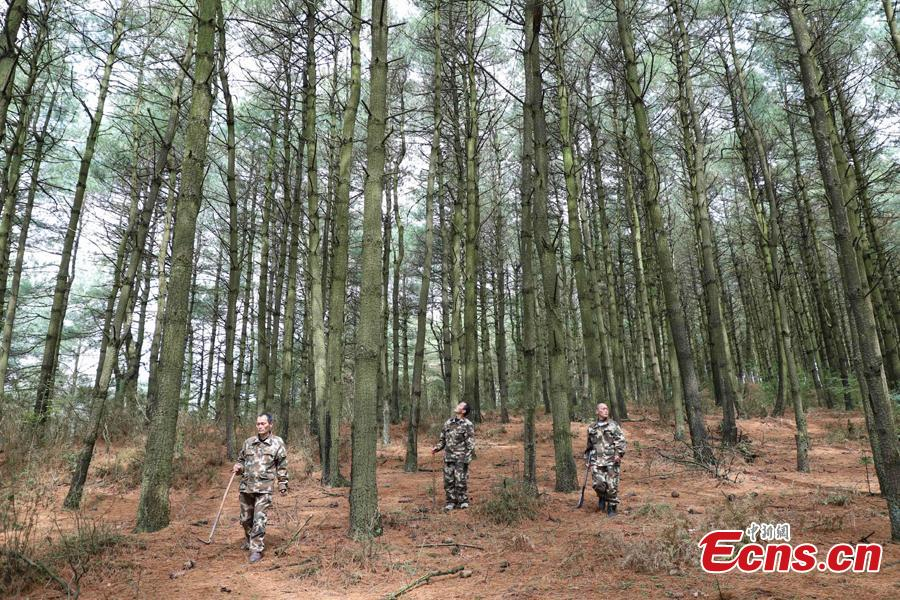Triplet brothers Zhang Zhong (L), Zhang Hua (C), and Zhang Jian patrol in the Gonglongping state-owned tree farm in Bijie City, Guizhou Province, March 10, 2019. Influenced by their father, the three brothers began to work as rangers in the farm in 1981. The tree farm covers an area of 53,300 mu (3,553 hectares) and the brothers usually walk approximately 30 kilometers on average per working day. Guizhou has about 3,000 registered rangers who work in tree farms totalling 5.55 million mu. (Photo: China News Service/Qu Honglun)