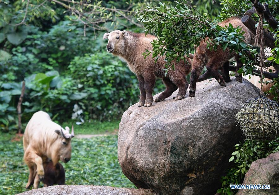 Golden takin (budorcas taxicolor) babies are seen at Chimelong Safari Park in Guangzhou, capital of south China\'s Guangdong Province, March 11, 2019. Seven golden takin babies, the latest offspring of the herd of the endangered species this year, are shown to the public at Chimelong Safari Park on Monday. (Xinhua/Liu Dawei)