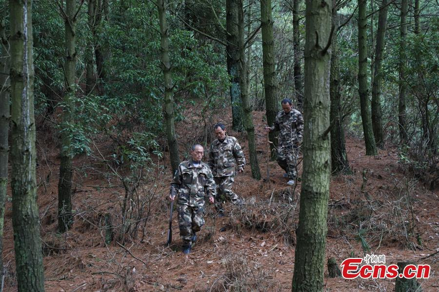 Triplet brothers Zhang Jian (front), Zhang Zhong (center), and Zhang Hua patrol the Gonglongping state-owned tree farm in Bijie City, Guizhou Province, March 10, 2019. Influenced by their father, the three brothers began to work as rangers in the farm in 1981. The tree farm covers an area of 53,300 mu (3,553 hectares) and the brothers usually walk approximately 30 kilometers on average per working day. Guizhou has about 3,000 registered rangers who work in tree farms totalling 5.55 million mu. (Photo: China News Service/Qu Honglun)