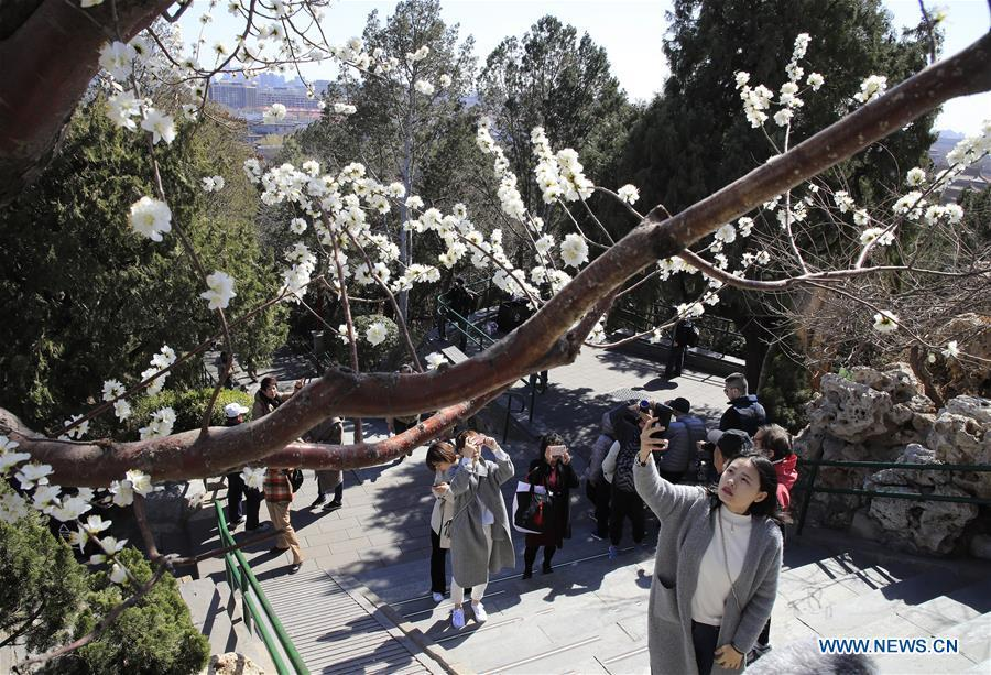 Visitors take photos of the peach blossoms at the Jingshan Park in Beijing, capital of China on March 11, 2019. (Xinhua/Liu Xianguo)