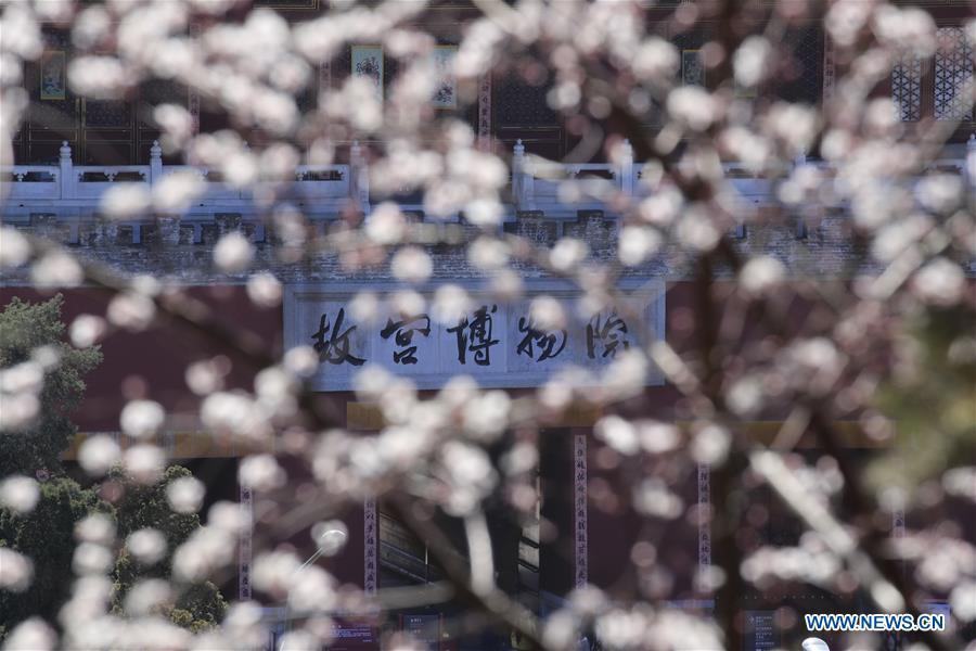 Photo taken on March 11, 2019 shows peach blossoms in front of the Shenwu Gate of the Forbidden City in Beijing, capital of China. (Xinhua/Liu Xianguo)
