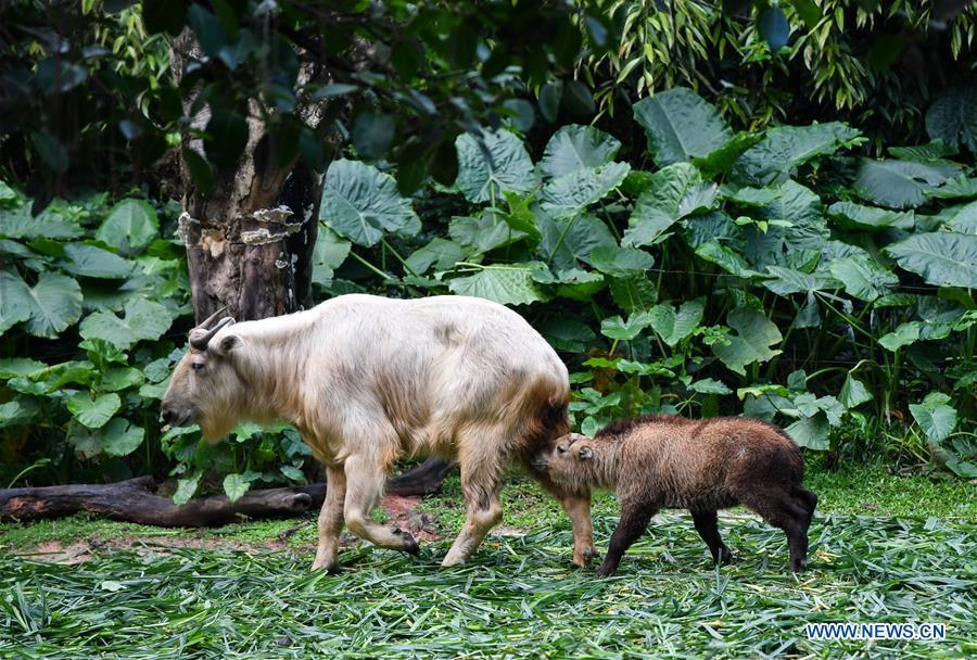 A golden takin (budorcas taxicolor) baby is seen at Chimelong Safari Park in Guangzhou, capital of south China\'s Guangdong Province, March 11, 2019. Seven golden takin babies, the latest offspring of the herd of the endangered species this year, are shown to the public at Chimelong Safari Park on Monday. (Xinhua/Liu Dawei)