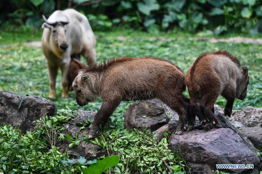 Two golden takin (budorcas taxicolor) babies are seen at Chimelong Safari Park in Guangzhou, capital of south China\'s Guangdong Province, March 11, 2019. Seven golden takin babies, the latest offspring of the herd of the endangered species this year, are shown to the public at Chimelong Safari Park on Monday. (Xinhua/Liu Dawei)