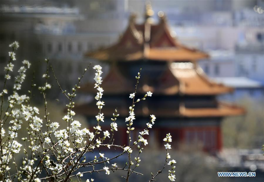 Photo taken on March 11, 2019 shows peach blossoms in front of a turret of the Forbidden City in Beijing, capital of China. (Xinhua/Liu Xianguo)