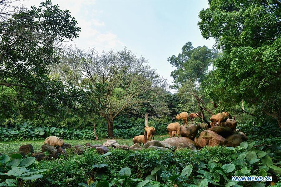 A herd of golden takins (budorcas taxicolor) are seen at Chimelong Safari Park in Guangzhou, capital of south China\'s Guangdong Province, March 11, 2019. Seven golden takin babies, the latest offspring of the herd of the endangered species this year, are shown to the public at Chimelong Safari Park on Monday. (Xinhua/Liu Dawei)