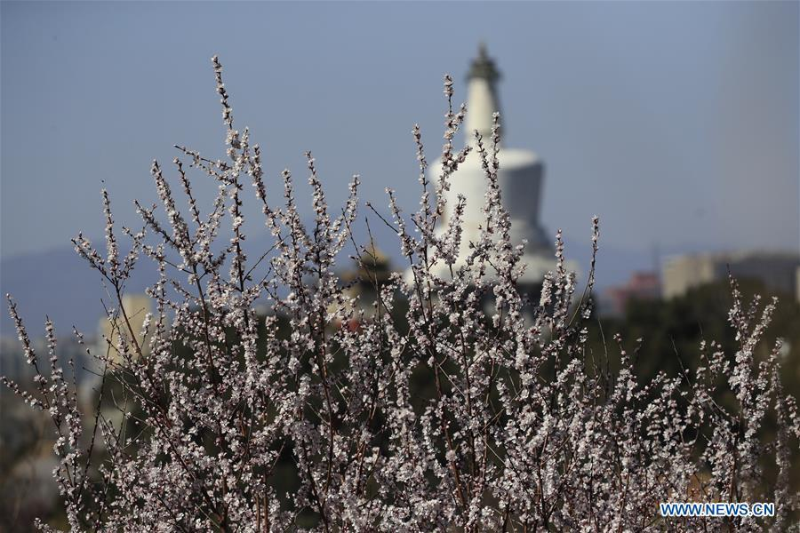 Peach blossoms in Beijing, capital of China