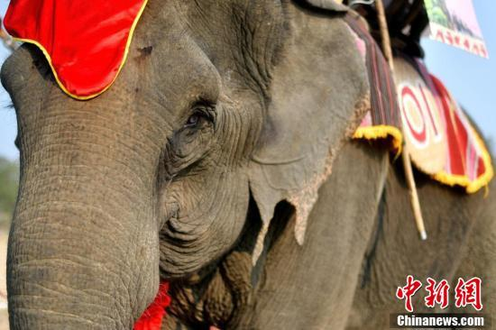 Mahouts race their elephants during the Buon Don elephant festival in Vietnam\'s central highlands of Dak Lak province, March 12, 2019. Locals say the race is a celebration of the much-revered animals -- traditionally thought of as family members in this part of Vietnam -- but conservation groups are calling for an end to the festival, which they say is cruel and outdated. (Photo/Agencies)