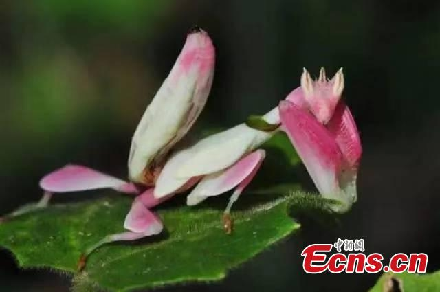 Photo provided by the Sun River National Forest Park in Pu\'er City, Yunnan Province shows insects blend in with their surrounding environment by utilizing anti-predator defences, such as mimicry. For example, H. bicornis is characterized by brilliant colouring and a structure adapted for camouflage, mimicking parts of the orchid flower. (Photo provided to China News Service)