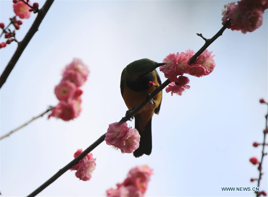 A bird is seen on a flowering tree at Huanglongdong scenic spot in Zhangjiajie, central China\'s Hunan Province, March 12, 2019. (Xinhua/Wu Yongbing)
