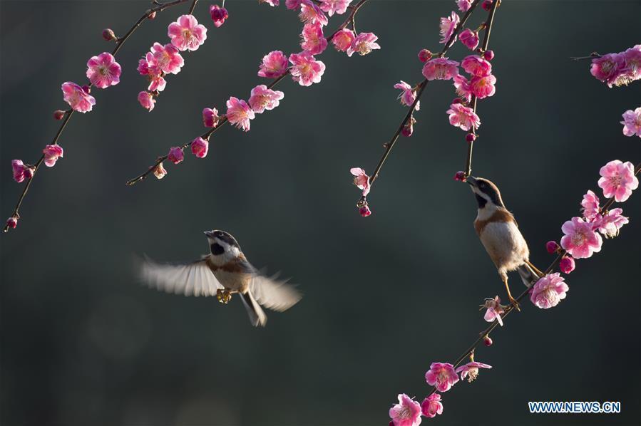 Two birds fly among branches of a flowering tree in Wuxi, east China\'s Jiangsu Province, March 12, 2019. (Xinhua/Pan Zhengguang)