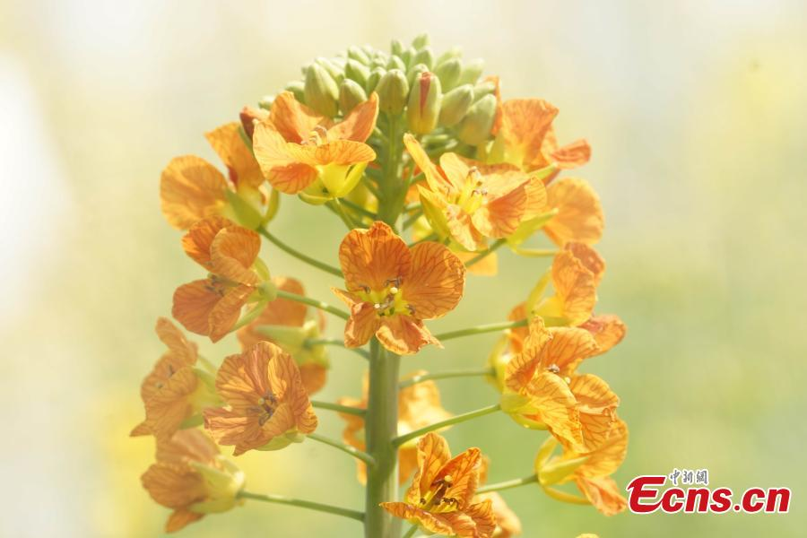A new variety of rapeseed cultivated by Professor Fu Donghui of Jiangxi Agricultural University blooms in the field.  Fu said he has created flowers in 27 colors, in contrast to the bright yellow color usually characteristic of rapeseed, adding that the new varieties have been planted in 40 scenic spots across more than 10 provinces, including Jiangxi and Jiangsu. (Photo: China News Service/Wang Haoyang)