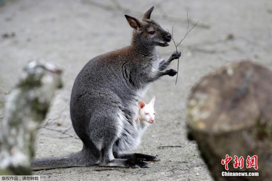 A wallaby albino baby kangaroo is seen in pouch of its mother in his enclosure in the zoo in Decin, Czech Republic, March 13, 2019. Rarely seen albino baby kangaroo born about month ago.  (Photo/Agencies)