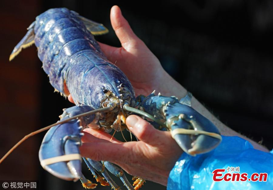 Fishmonger and owner of Collingwood Seafood, in North Shields, Tony McLean, 38, shows off a rare blue lobster caught off the coast of Northumberland, Britain, March 13, 2019. The cerulean crustacean is said to be as rare as one in two million. The fishmonger is now considering whether to donate the blue beauty to a local aquarium. (Photo/VCG)