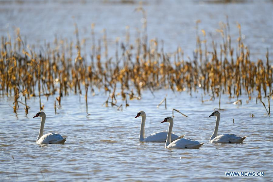 Photo taken on March 12, 2019 shows swans at the Yellow River wetland in Dalad Qi, Ordos, north China\'s Inner Mongolia Autonomous Region. (Xinhua/Peng Yuan)