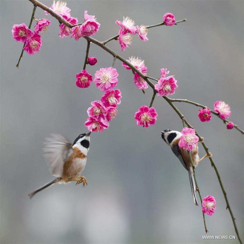 Birds gather around plum blossom in Wuxi, east China\'s Jiangsu Province, March 18, 2019. (Xinhua/Pan Zhengguang)