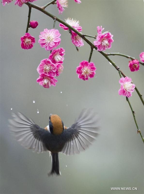 A bird flies to plum blossom in Wuxi, east China\'s Jiangsu Province, March 18, 2019. (Xinhua/Pan Zhengguang)