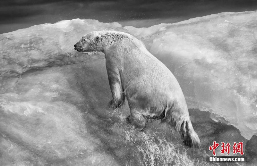Paul Nicklen from Canada took second place in the \'Portfolio Category.\' (Photo/VCG)