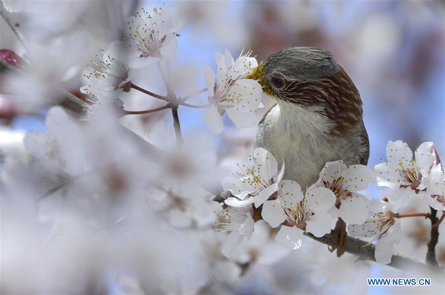 A bird is seen on a flowering tree in Xuan\'en County, Enshi Tujia and Miao Autonomous Prefecture, central China\'s Hubei Province, March 18, 2019. (Xinhua/Song Wen)