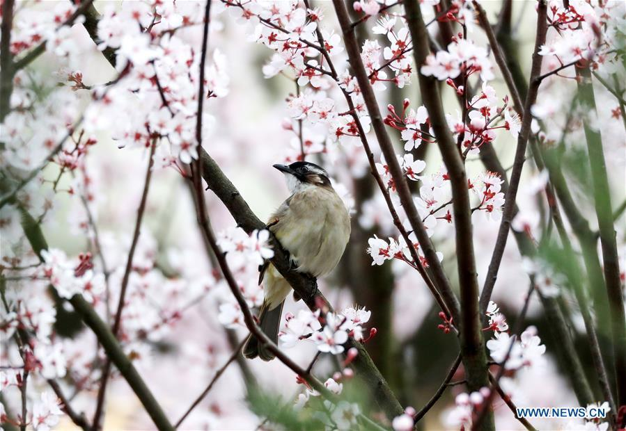 A bird stands on a tree\'s branch at Yuping Dong Autonomous County in Tongren City, southwest China\'s Guizhou Province, March 19, 2019. (Xinhua/Hu Panxue)