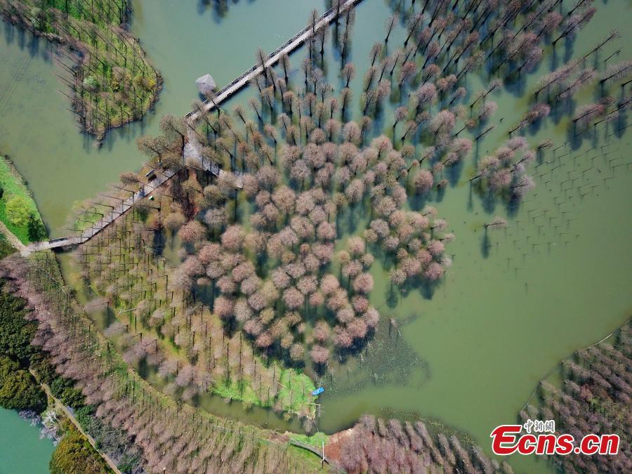 Aerial photos show a suburban park in Shanghai, the only wetland park in the metropolis, on March 19, 2019. The park boasts a wetland, a lake, a river and a forest, together forming a thriving ecosystem. Trees rooted in water cover an area of 60 mu (four hectares) and are the park\'s centerpiece and a big draw for spring tourists.  (Photo: China News Service/Zhang Hengwei)