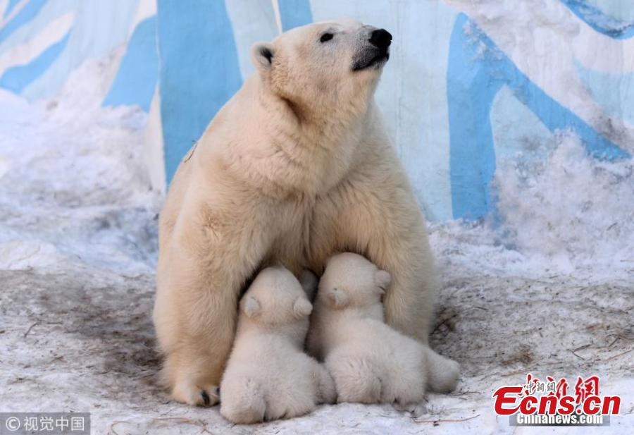 A polar bear feeds its two 3-month-old cubs at a zoo in Novosibirsk, Russia, March 19, 2019. (Photo/VCG)