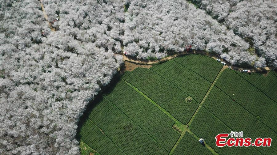 Aerial photo taken on March 20, 2019 shows cherry blossoms blooming in the Gui\'an New Area of southwest China\'s Guizhou Province. (Photo: China News Service/Qu Honglun)