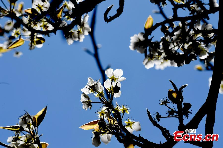 Pear blossoms in Jinchuan County, Sichuan Province, March 20, 2019. The county boasts 10,000mu (666 hectares) of pear trees, attracting tourists to enjoy the beautiful white flowers in the spring.  (Photo: China News Service/An Yuan)
