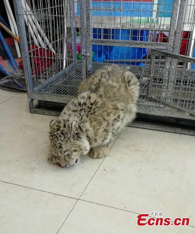An eight-month-old snow leopard is seen in an animal sanctuary in Qushui County, Southwest China\'s Tibet Autonomous Region.  A local farmer found the cub, which will be released back to the wild when it is ready. (Photo provided to China News Service)