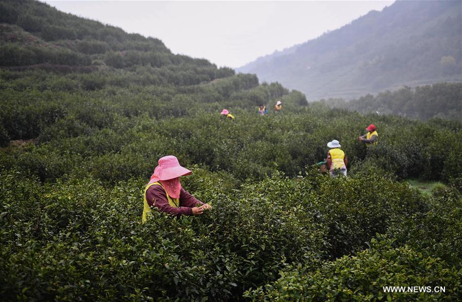 Tea farmers pick Biluochun tea leaves at a modern agricultural demonstration garden in Suzhou, east China\'s Jiangsu Province, March 21, 2019. Harvest season for Biluochun, one of the top tea varieties in China and the speciality of Suzhou, arrived recently. Farmers here are busy in harvesting tea leaves ahead of the Qingming Festival to produce the Mingqian (literally \