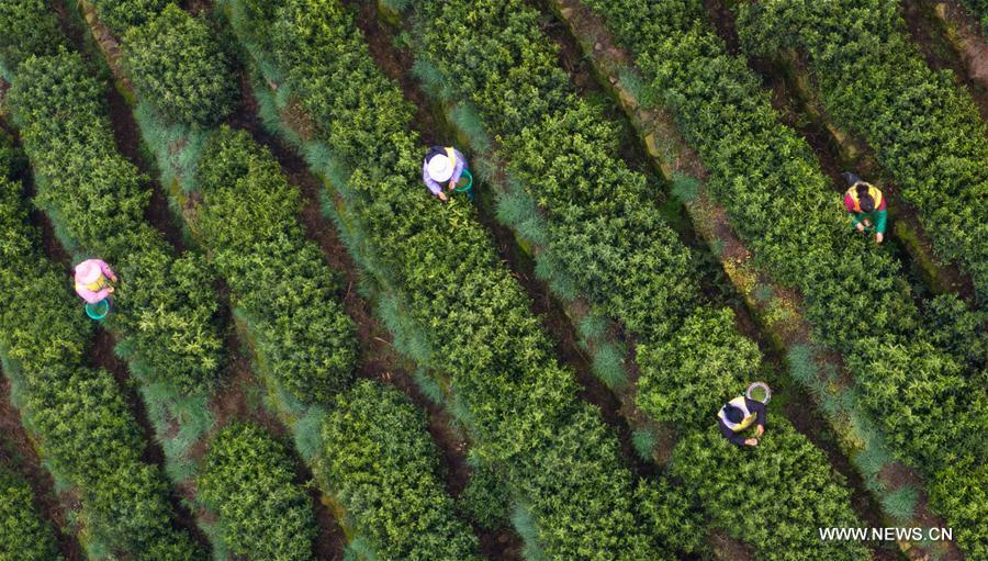 Aerial photo shows tea farmers picking Biluochun tea leaves at a modern agricultural demonstration garden in Suzhou, east China\'s Jiangsu Province, March 21, 2019. Harvest season for Biluochun, one of the top tea varieties in China and the speciality of Suzhou, arrived recently. Farmers here are busy in harvesting tea leaves ahead of the Qingming Festival to produce the Mingqian (literally \
