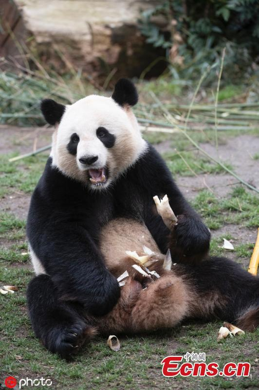 Giant panda Jiao Qing is seen at the Zoo in Berlin, Germany, March 21, 2019. Male panda Jiao Qing arrived in Berlin in 2017 together with female panda Meng Meng from the panda breeding and research base in Chengdu, Southwest China. The panda pair will stay in the zoo for 15 years. (Photo/IC)