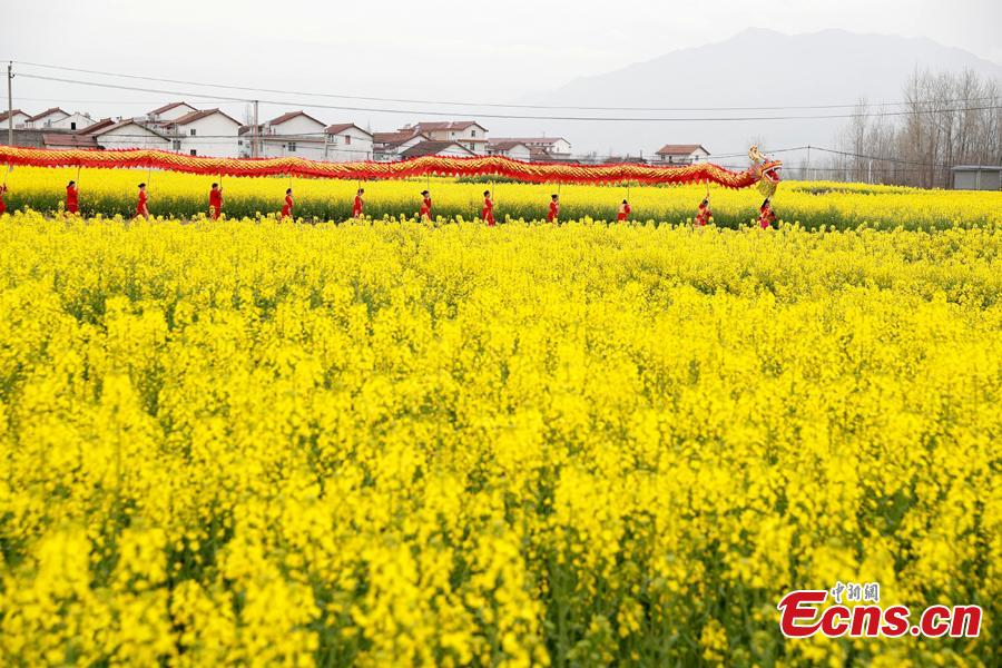 A dragon dancing team performes in a cole flower field in Hanzhong City, northwest China\'s Shaanxi Province, March 22, 2019. Cole flowers are in full bloom in Hanzhong recently. (Photo: China News Service/Liu Guanguan)