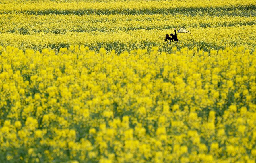 People play in a cole flower field in Hanzhong City, northwest China\'s Shaanxi Province, March 22, 2019. Cole flowers are in full bloom in Hanzhong recently. (Photo: China News Service/Liu Guanguan)