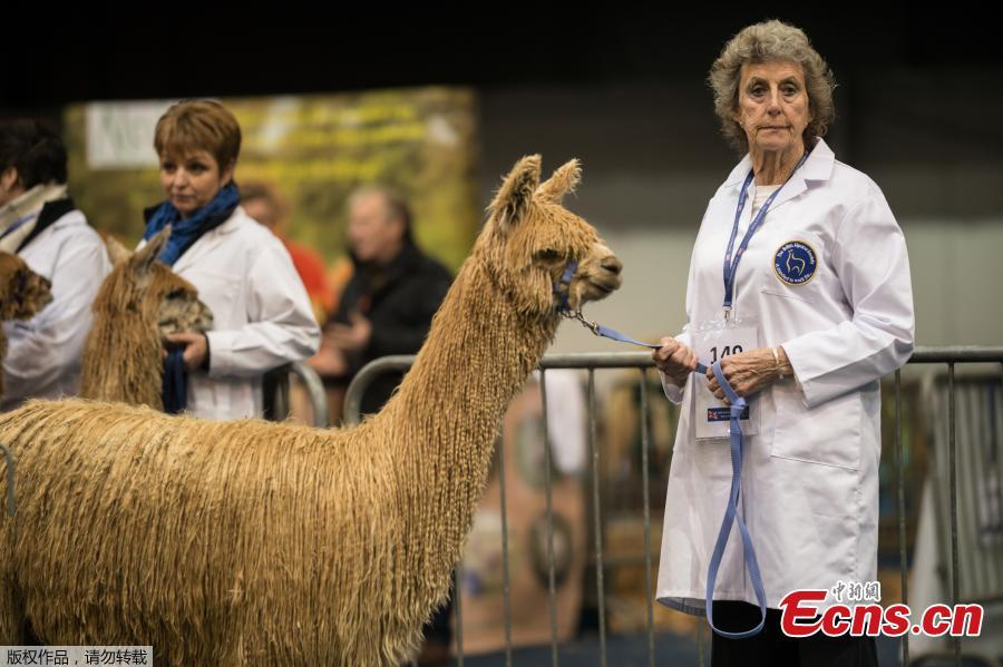 Handlers stand with their alpacas before judging at the British Alpaca Society National Show held at The International Centre in Telford, March 24, 2019. (Photo/Agencies)