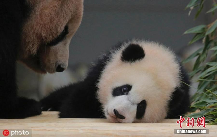 Baby panda Saihin plays around with her mother Rauhin at Adventure World in Shirahama, Wakayama Prefecture in Japan on March 23, 2019. The 12-kilogram baby panda played outside and met the public for the first time since she was born in August 2018.  (Photo/IC)