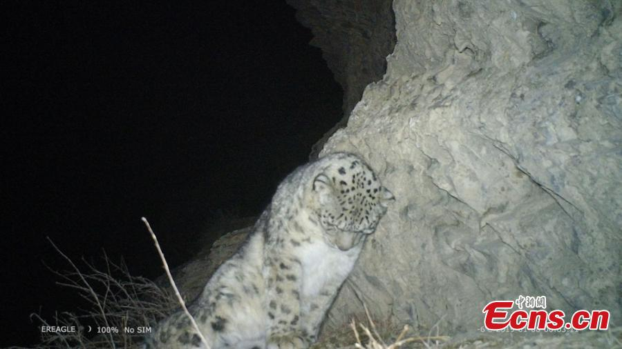 A photo taken by an infrared camera shows a snow leopard in the Hexi Corridor, a historical trade route, in Aksay Kazakh Autonomous County, Jiuquan City, Northwest China\'s Gansu Province. Researchers with the World Wildlife Fund (WWF) and the county\'s forestry office are collecting photos and videos made by 17 infrared cameras, which includes footage of snow leopards. (Photo: China News Service/Shaliha)