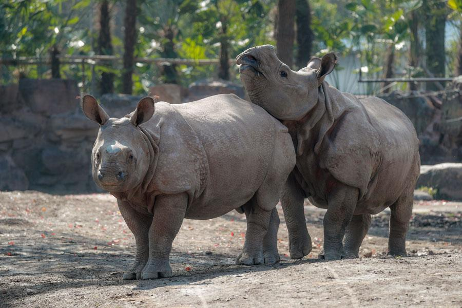 The pair of endangered Asian rhinoceroses that were gifted to Shanghai by Nepal are officially revealed to the public on March 23 at the Shanghai Wild Animal Park in Pudong New Area. (Photo provided to chinadaily.com.cn) Both rhinos weigh over 1,000 kilograms and require about 120 kilograms food, including the fresh grass and vegetables,every day. They are currently living in their own 7,000-square-meter enclosure within the wild animal park.  The Asian rhino became extinct in China in the early last century. The species is currently only found in Nepal, India and a few other Asian countries. It is estimated that there are only around 2,700 of its kind left in the world.  Nepal presented the pair of rhinoceroses to China as a symbol of the two countries\' friendship on Aug 18, 2018. The two countries are also working together as part of a joint program to protect and research the species.