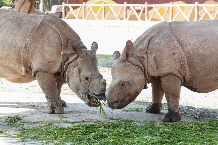 The pair of endangered Asian rhinoceroses that were gifted to Shanghai by Nepal are officially revealed to the public on March 23 at the Shanghai Wild Animal Park in Pudong New Area. (Photo provided to chinadaily.com.cn)