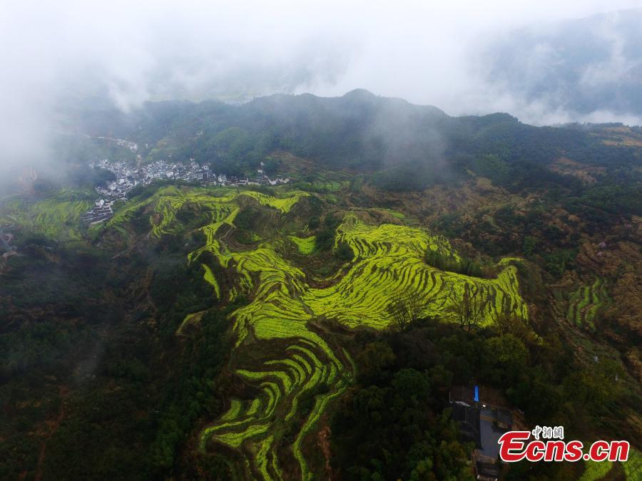 An aerial view of fields and hillside terraces being turned bright yellow by blooming rapeseed flowers in Wuyuan County, Jiangxi Province in March 2019. (Photo: China News Service/Cao Jiaxiang)