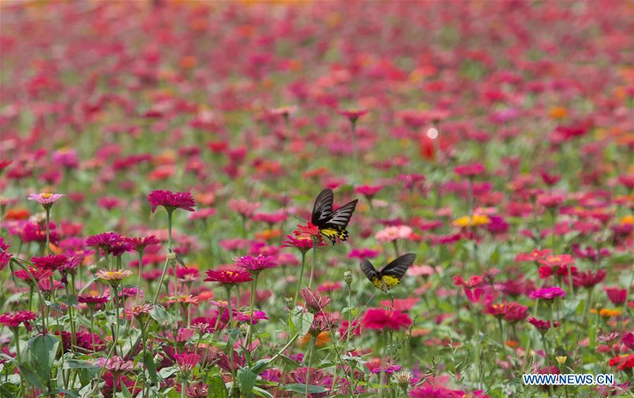 Butterflies are seen in a garden of Nanqiang Village, Boao Town, Qionghai City of south China\'s Hainan Province, March 25, 2019. Qionghai City has quickened its steps towards the construction of \