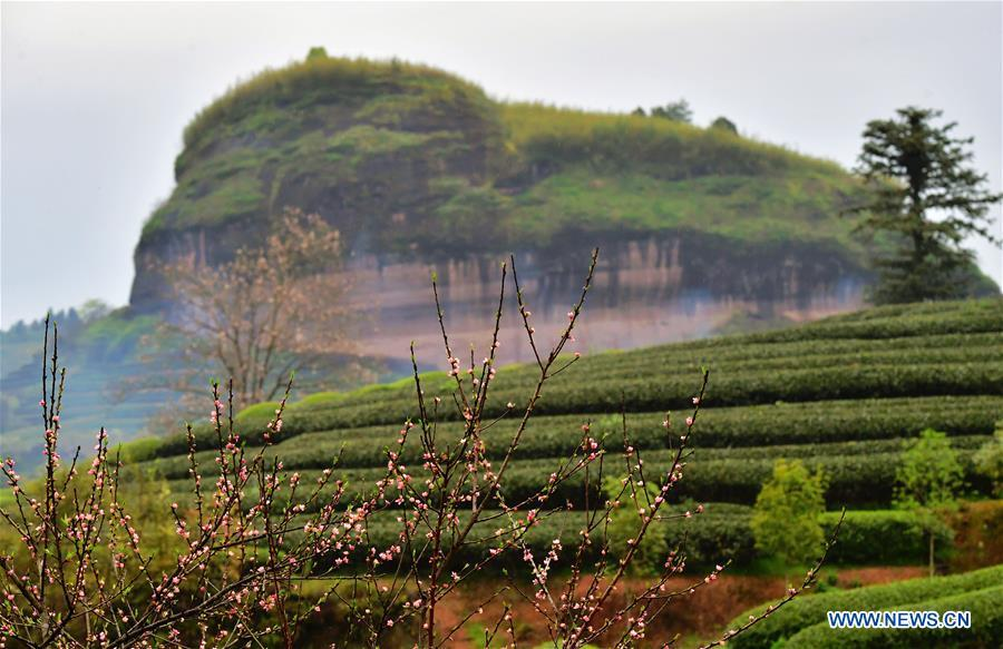 <?php echo strip_tags(addslashes(Photo taken on March 26, 2019 shows an ecological tea garden in Xingcun Township of Wuyishan City, southeast China's Fujian Province. The tea gardens in Wuyishan will enter harvest season next month. (Xinhua/Wei Peiquan))) ?>
