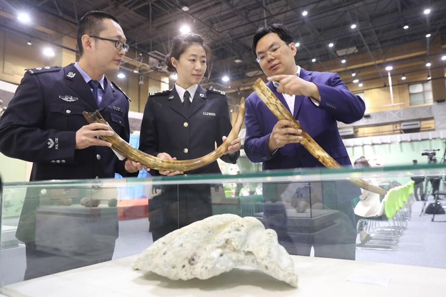 Customs officers and a worker from the Beijing Museum of Natural History examine the mammoth tusks at the museum on March 27, 2019. Beijing Customs handed over 76 pieces of confiscated fossils and paleontological products to the museum. (Photo/Asianewsphoto)