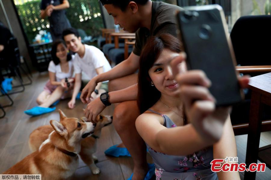 A woman takes a selfie with Corgi dogs at Corgi in the Garden cafe in Bangkok, Thailand, March 15, 2019.  The cafe houses 12 corgis, whose popularity has been soaring among Thai dog lovers for their roly-poly build and an almost infallible ability to make people smile. (Photo/Agencies)