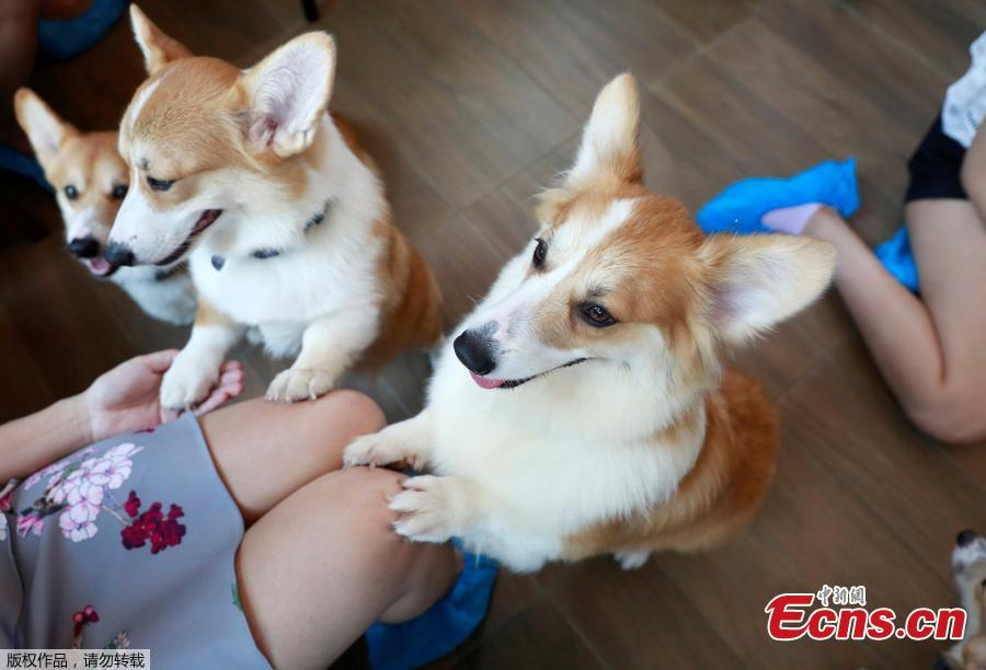 Corgi dogs play with customers at Corgi in the Garden cafe in Bangkok, Thailand, March 15, 2019.  The cafe houses 12 corgis, whose popularity has been soaring among Thai dog lovers for their roly-poly build and an almost infallible ability to make people smile. (Photo/Agencies)