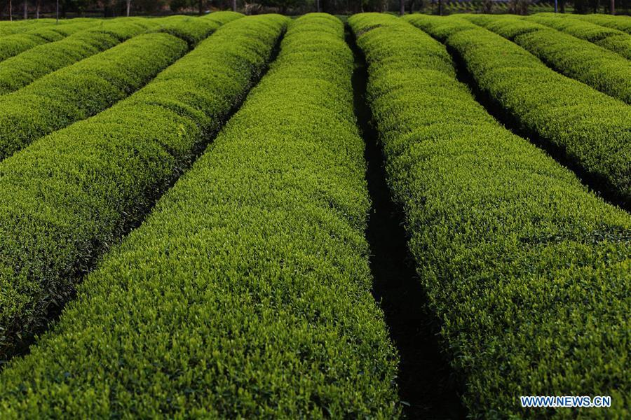 Photo taken on March 26, 2019 shows tender shoots at a tea garden in Xingcun Township of Wuyishan City, southeast China\'s Fujian Province. The tea gardens in Wuyishan will enter harvest season next month. (Xinhua/An Xiya)