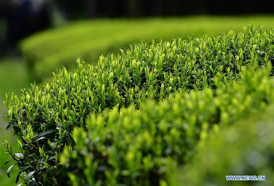 Photo taken on March 26, 2019 shows tender shoots at a tea garden in Xingcun Township of Wuyishan City, southeast China\'s Fujian Province. The tea gardens in Wuyishan will enter harvest season next month. (Xinhua/Wei Peiquan)
