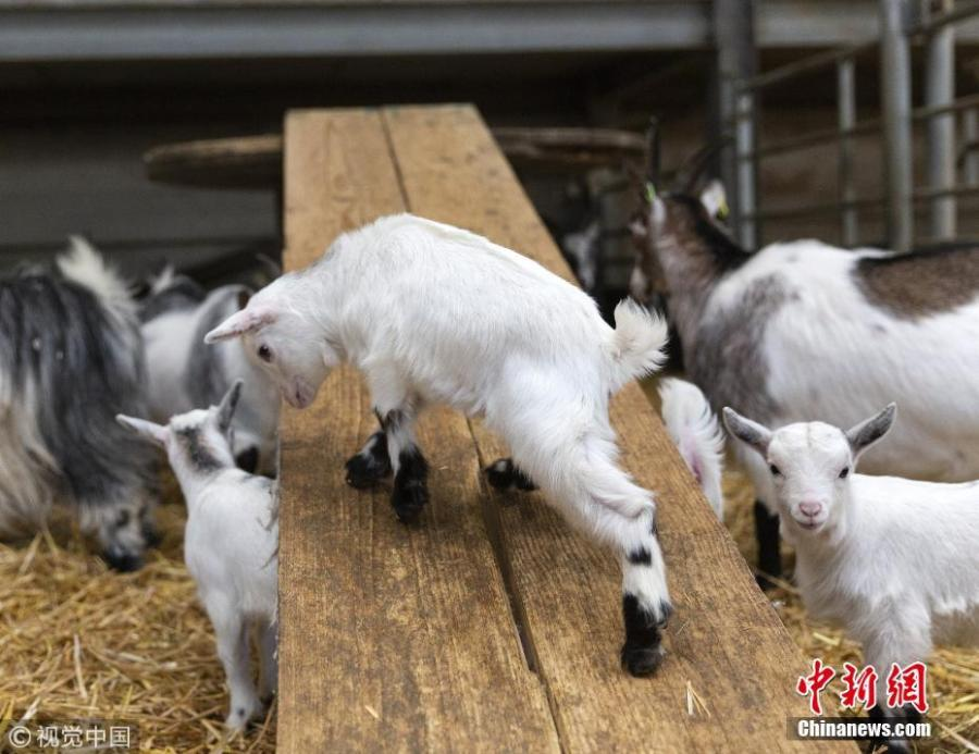 A group of 4 week old pygmy goats enjoy their homemade wooden slide at Cannon Hall Farm in Barnsley, South Yorkshire, March 27, 2019. (Photo/VCG)