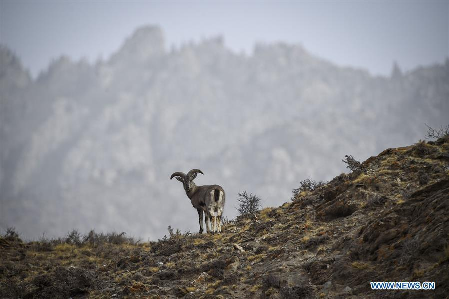 Bharal, also called the Himalayan blue sheep, searches for food at the Helan Mountain National Nature Reserve in northwest China\'s Ningxia Hui Autonomous Region, March 27, 2019. The number of bharal has reached over 40,000 on the Helan Mountain after years of environment renovation. (Xinhua/Feng Kaihua)